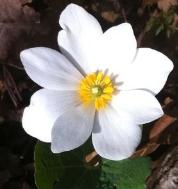 bloodroot-flower