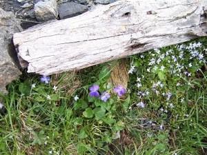 violets_opt