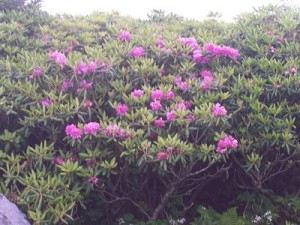 rhododendron-blooms-in-mist