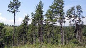 short-leaf pines
